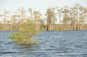This cypress tree thought its branches were safely above the water-which proved not to be the case!